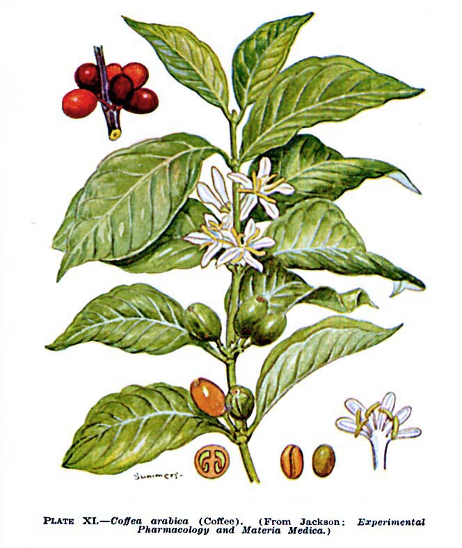 Coffee species: Arabica, Robusta, Liberica